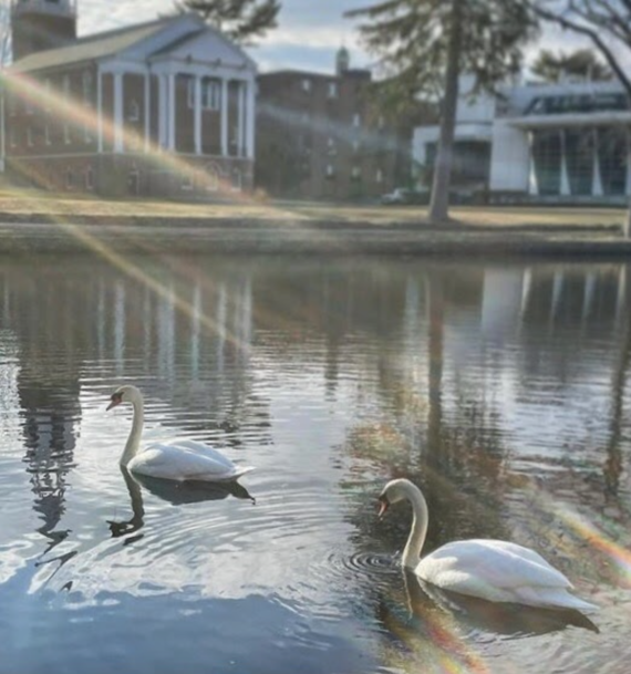 Two swans sitting in the water at Peacock Pond at Wheaton College